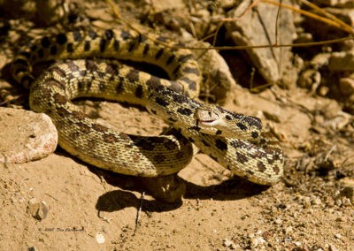 Bull Snake Silver City NM 3815