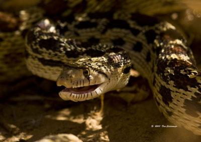 Bull Snake Silver City NM_0754