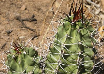 Cactus Jemez Mountains NM 042