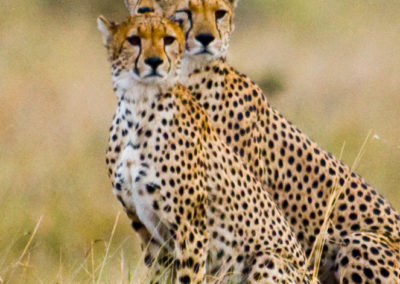 Cheetahs-On-The-Look-Out-Amboselli-NP-Kenya-3366