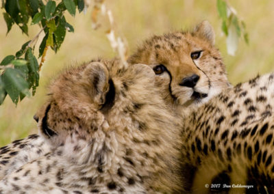 Cheetahs Taking a Siesta 6564