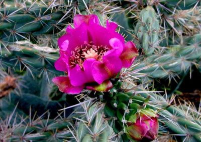 Cholla Cactus 241