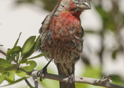 Crossbill Pecos NM 111