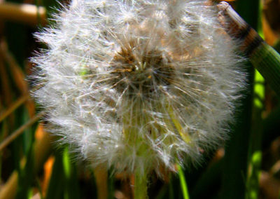Dandelion-Going-to-Seed-289