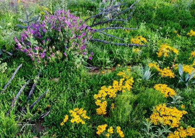Desert Gold, Davidsons Penstemon, Dead Cholla Cactus Taos NM 139