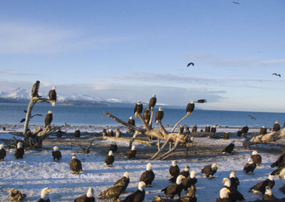 Eagles Gathering Homer Alaska