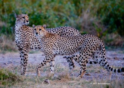 Father-and-Son-Cheetahs-3436