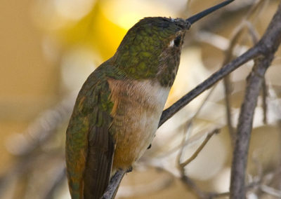 Female Rufous Hummingbird Az_2846