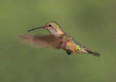 Female Rufous Hummingbird Hovering Pecos NM 47