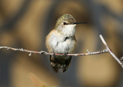 Female Rufous Hummingbird Pecos Mountains NM 087