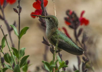 Female Rufous Hummingbird on Autumn Sage NM 083