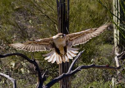 Ferrougounes Hawk _2754