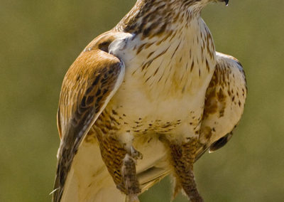Ferruginous Hawk Arizona 8191