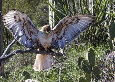 Ferruginous Hawk Az_2756