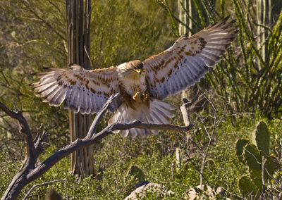 Ferruginous Hawk_2755