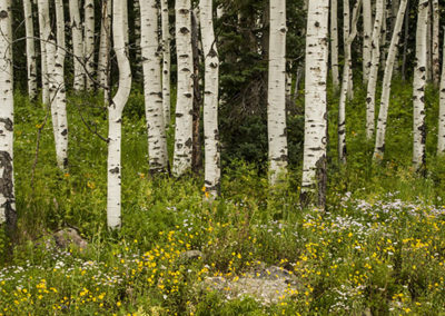 Fir Tree Aspens Wild Flowers Colo 8472