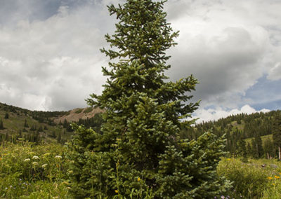 Fir Tree at 8000' Colo. 8615