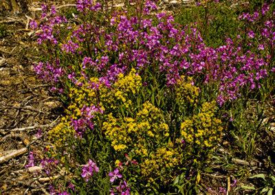 Fireweed & Yellow Charlock RMNP 1227