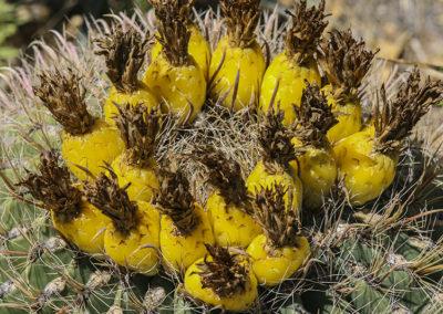 Fish Hook Cactus New Mexico 166-3