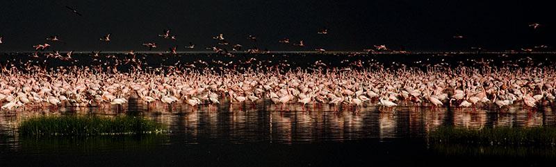 Flamingos Lake Nakuru Kenya Africa_1056