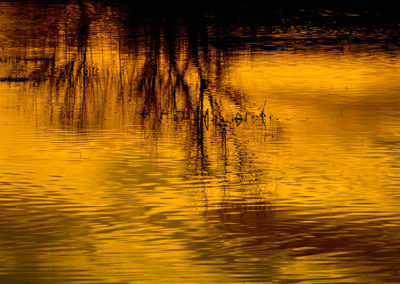 Golden Reflection Bosque del Apache NM 8363