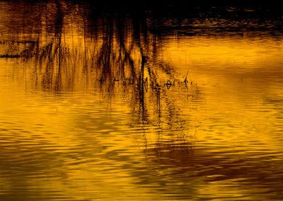 Golden Reflection Bosque del Apache NM 8363
