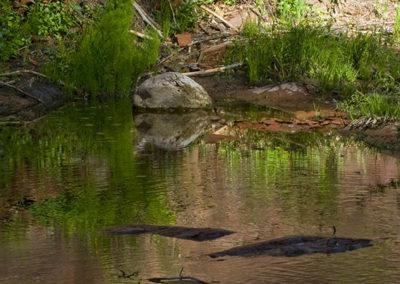 Green Reflections West Fork of Oak Creek Sedona Az_3506