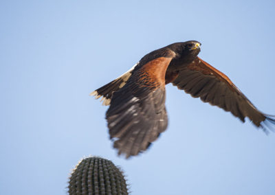 Harris Hawk Arizona 8243