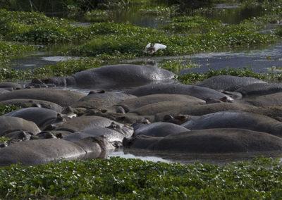Hippos Lake Manyara Tanzania Africa _0907