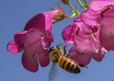 Honey Bee on Parrys Penstemon Jemez Mountains NM 119