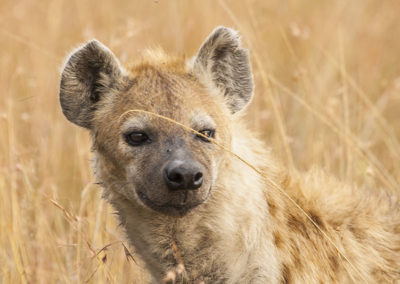 Hyena Maasi Mara Kenya 6265