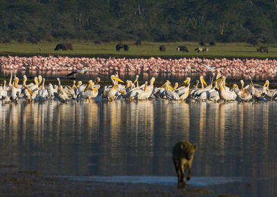 Hyena Pelicans Flamingos Water Buffalo Lake Nakuru Kenya Africa 4834