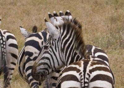 I'm All Ears...Zebras Amboselli NP Kenya 2366