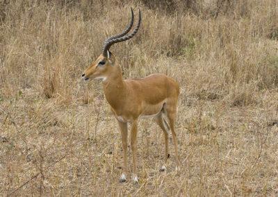 Impala Ngorongoro Crater Tanzania Africa_0132