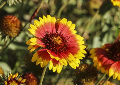 Indian Blanketflower Grand Teton NP 018