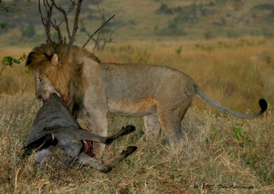 King of Beasts With Fresh Wildebeast Kill Maasi Mara Kenya_1393