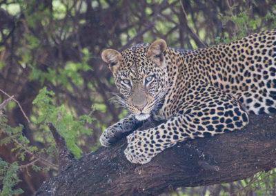 Leapord Lake Manyara Kenya Africa 1165