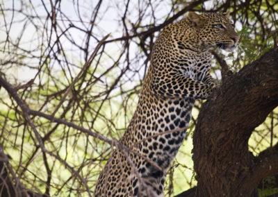 Leopard Lake Manyara Tanzania 1128
