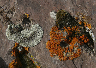 Lichen Growing on Rock Yellowstone NP 059