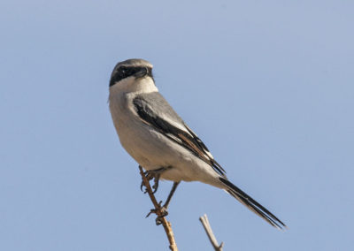 Logger Head Shrike Yellowstone Colo