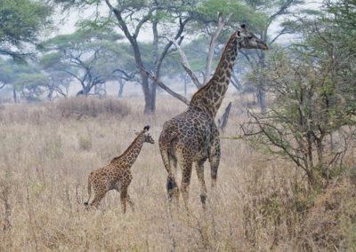 Maasi Giraffe With Baby Maasi Mara Kenya_0026