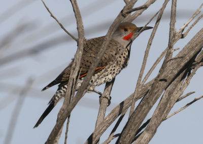 Male Flicker Colorado 164