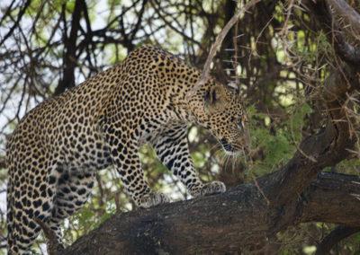 Male Leapord Lake Manyara Tanzania Africa 1131