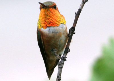 Male Rufous Hummingbird 118