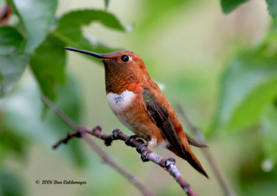 Male Rufous Hummingbird Pecos NM 099