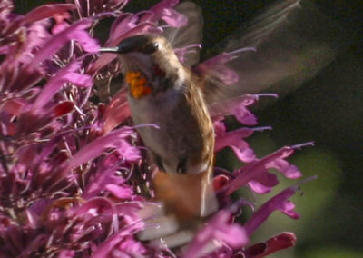 Male Rufous Hummingbird on Purple Loco Weed 278