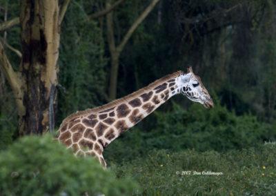Masai Giraffe 4161