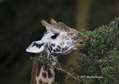Masai Giraffe Eating Thorns Ouch 4166