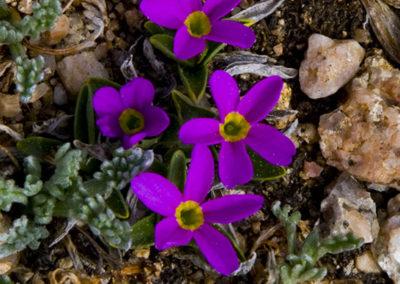 Mountain Gilia 13,000' Mt Evans_0120