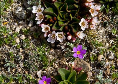 Mountain Spring Beauty & Purple Talinum 12,000' Mt Evans 12,000'_0128